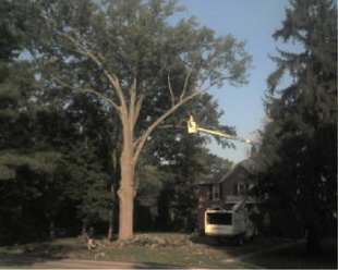 Remove Large Oak Tree